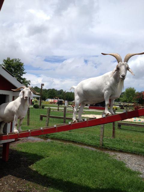 http://www.hillridgefarms.com/cutenews/data/upimages/Goats-3.jpg